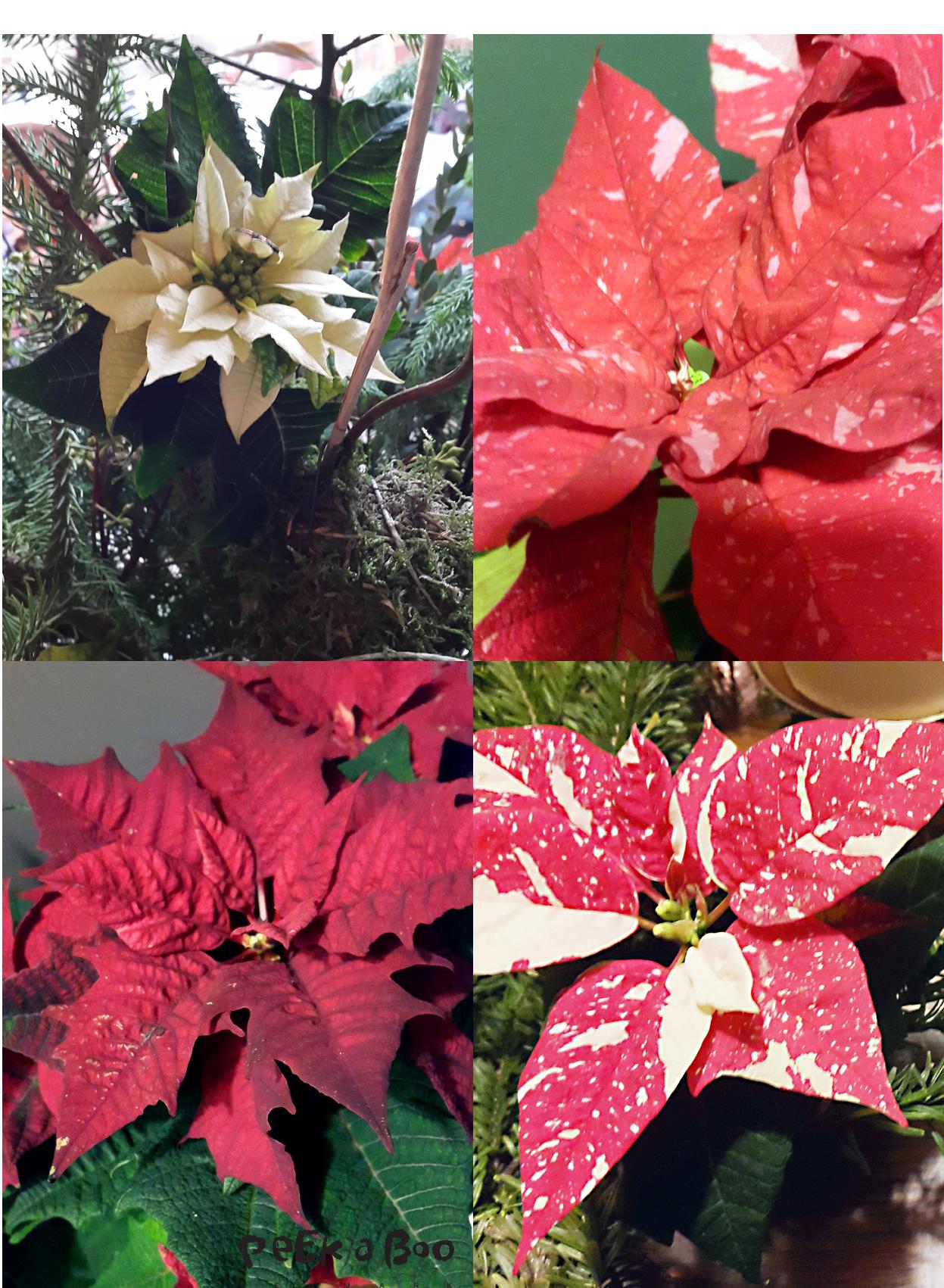 Poinsettia er det latinske navn på julestjernen