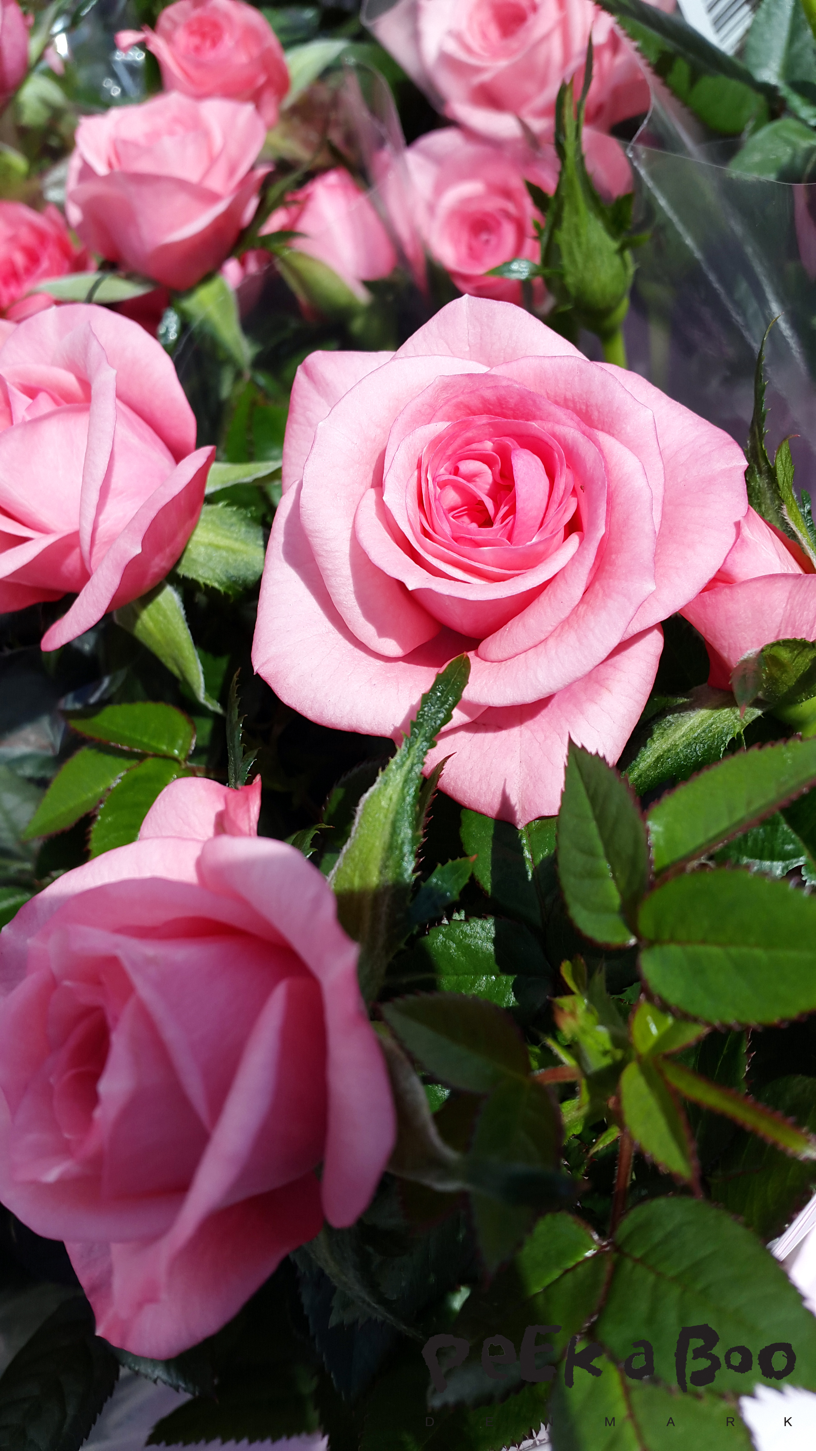From the Danish horticulture Rosa Danica, who specialise in roses. The new thing is pot roses with scents.