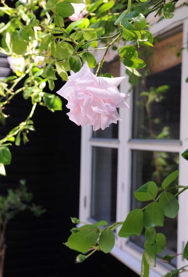 på terrassen er espalieret til slyngrosen kommet op igen og de smukke New Dawn roser står så fint til de sorte vægge.