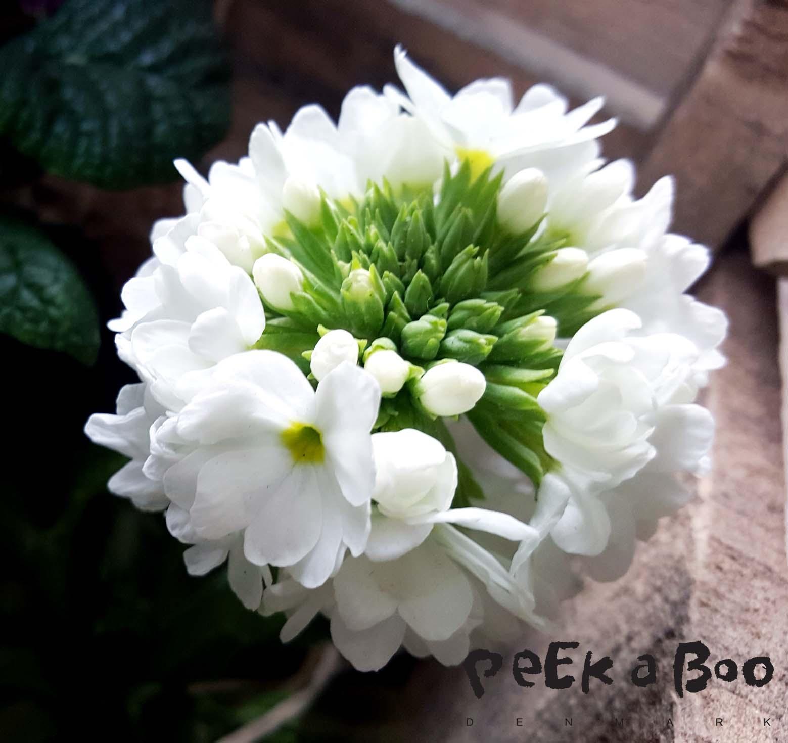Kugle primula (primula denticulata) er simpelthen så fin...der er ikke noget som sådan en kugle fyldt af små fine blomster.