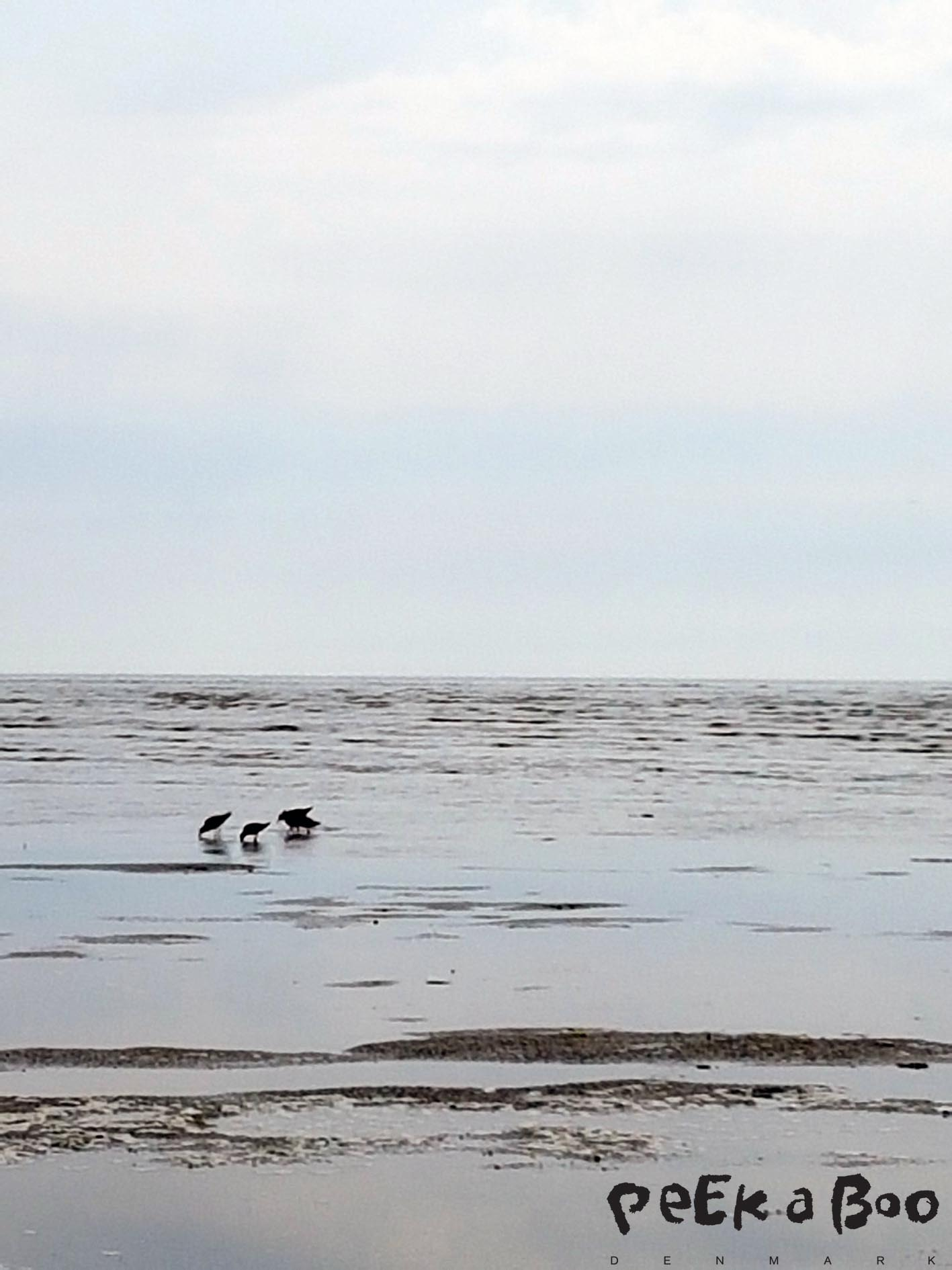 There is a lot of birds by the Wadden Sea.