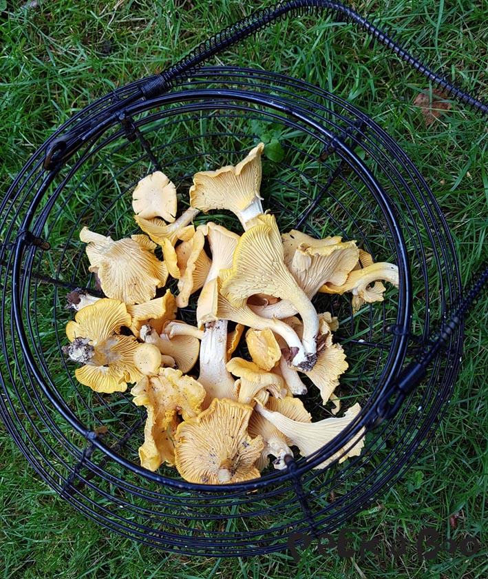 freshly picked chanterelles.